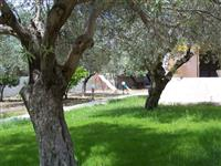 Walled garden with olive trees