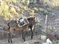 Mules at their out-of-town place